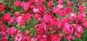 Rosengarten in Simrishamn Bildquelle: osterlenrosor.se