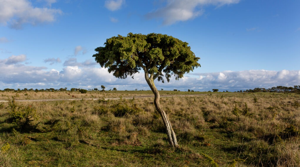 Närsholmen ist eine Halbinsel auf Gotland mit vom Wind verwehten Kiefern und Wacholderbäumen, die von Weidetieren offen gehalten werden.// Bildquele: Jerker Andersson/imagebank.sweden.se